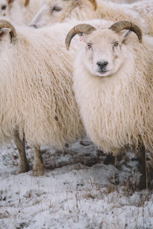 iceland sheep nature photos wildlife images