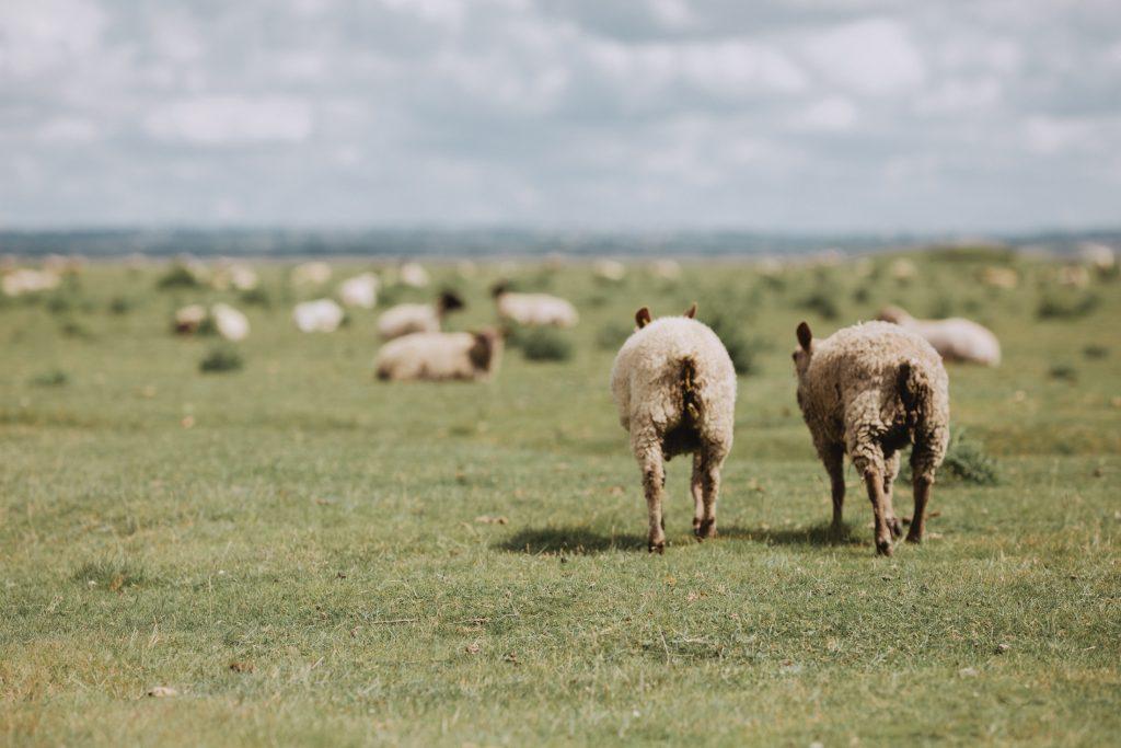 france sheep at normandi